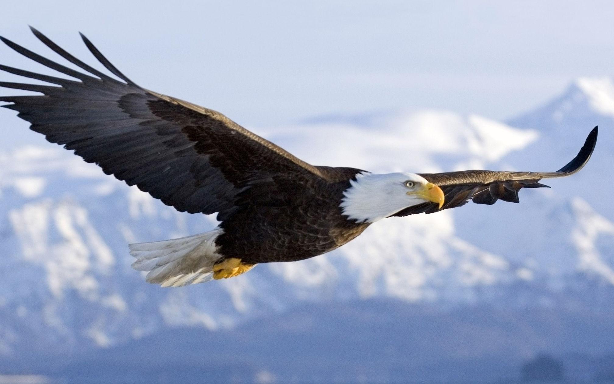 Bald Eagle Wallpapers Flight Monica De Miranda